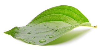 dew-drop-leaf